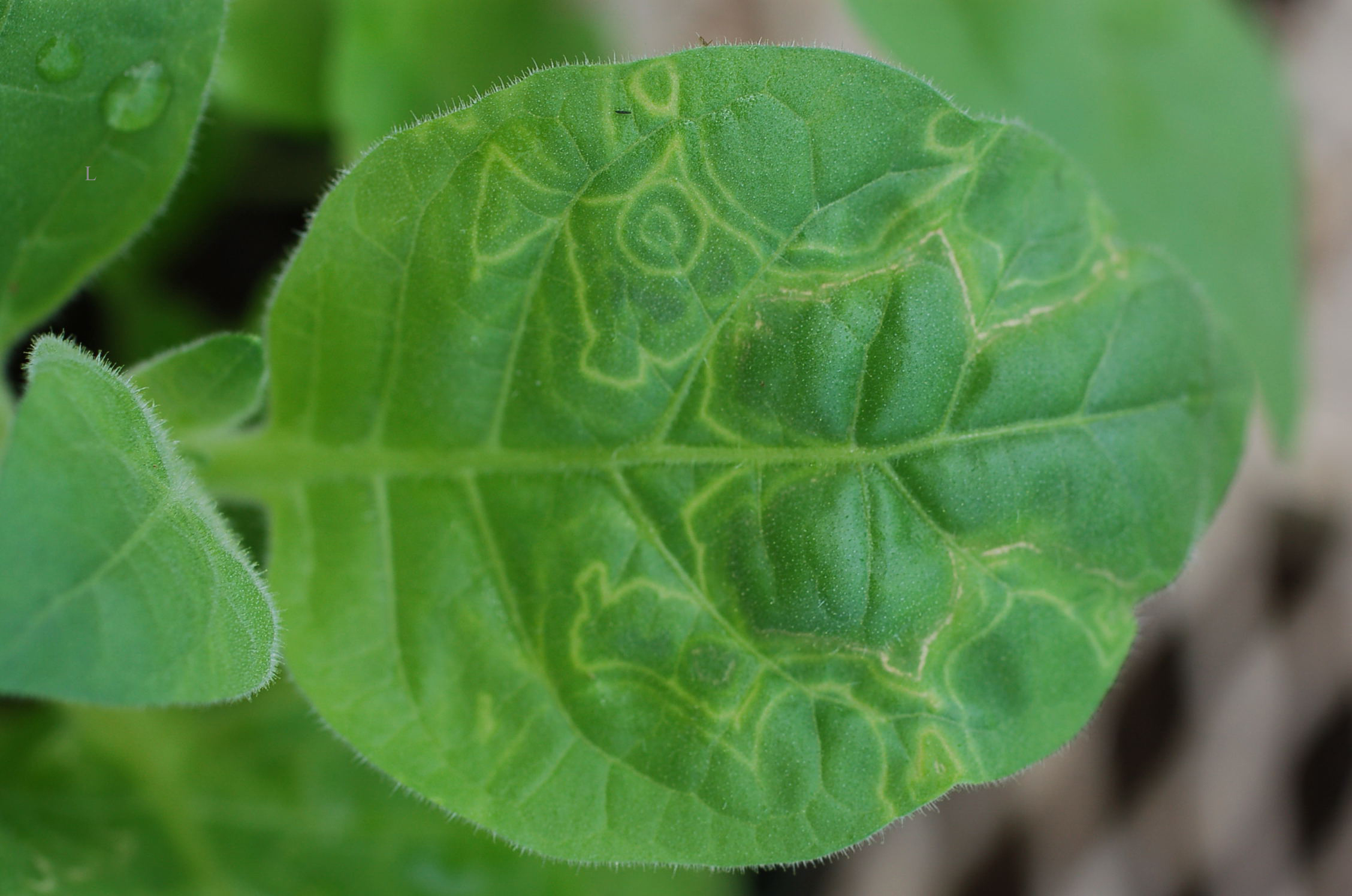 leaf showing virus infection symptoms